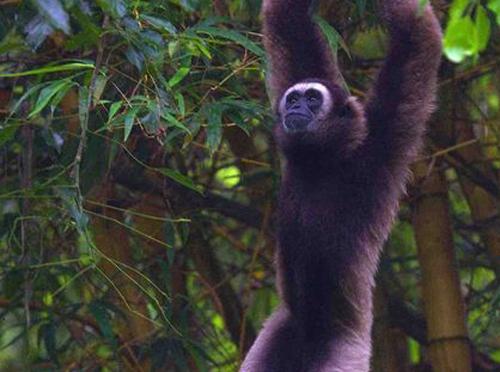 Hoạt động đốn gỗ trong các khu rừng nhiệt đới có liên quan tới việc sụt giảm số lượng nhiều loài như vượn Bornean. Ảnh: Gerardo Ceballos.