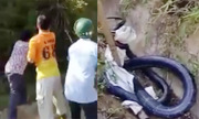Dân vây bắt hổ mang chúa 7 kg ở Yên Bái