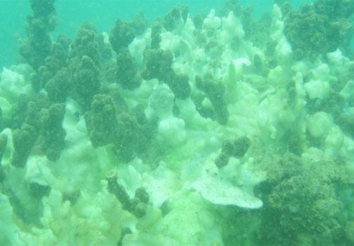 Rặng san hô chết trắng ở khu vực Thừa Thiên Huế trong đợt khảo sát trong khoảng tháng 5-6. Ảnh: VAST.