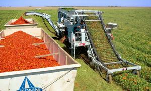 Những cỗ máy siêu tốc hái hàng tấn cà chua trong vài giờ