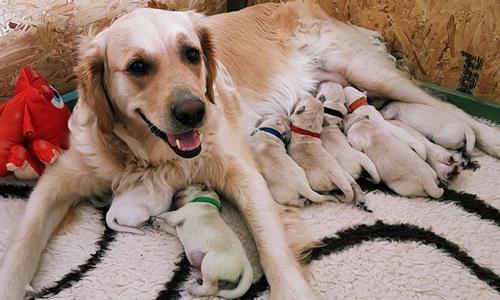 Chó con lông xanh Forest nằm giữa các anh chị em bên chó mẹ Riot. Ảnh: Cascade News.