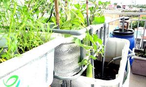 Mô hình trên trồng rau, dưới nuôi cá ở sân thượng Sài Gòn