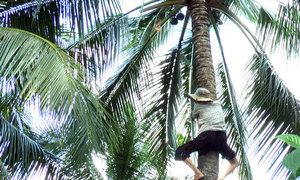 Người phụ nữ miền Tây 40 năm kiếm sống trên đọt dừa