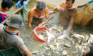 Lặn sông dỡ chà bắt cá ở miền Tây