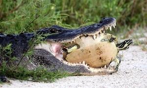Cá sấu phải nhả rùa vì mai quá cứng