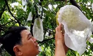 Nông dân miền Tây trồng vườn mãng cầu chế biến trà
