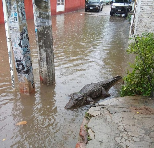 Khi cá sấu lên bờ.