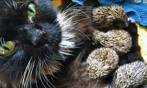 Mèo mẹ nuôi 8 chú nhím mồ côi bất chấp gai nhọn