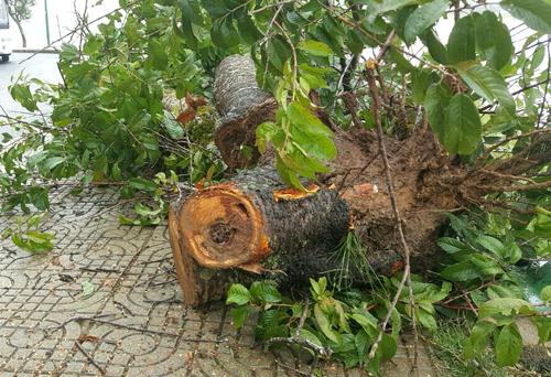 Một cây mai anh đào lâu năm bị bật gốc. Ảnh: Khánh Hương