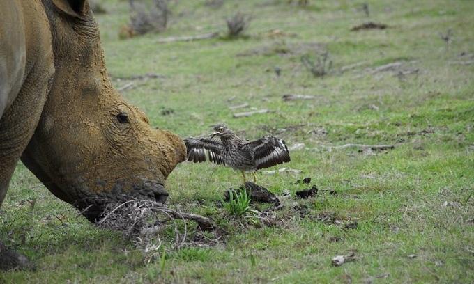 Chim dẽ đối đầu mẹ con tê giác để bảo vệ tổ