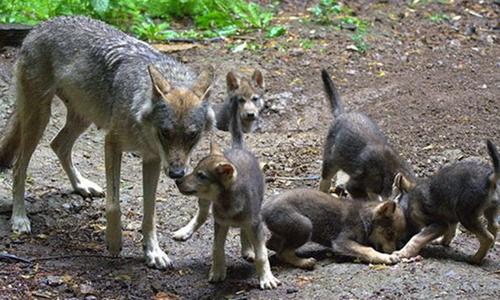 Sói Ember và 5 con nhỏ. Ảnh chụp màn hình: Twitter.