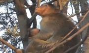Mẹ khỉ ôm xác con chết vì điện giật suốt nhiều ngày
