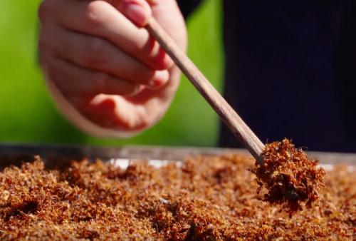 iến vàng cùng với trứng kiến sẽ được đem rang cho khô làm muối. Ảnh: Bizmedia