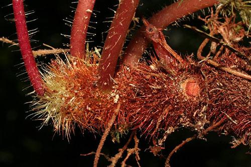 Thân rễ dạng củ với nhiều lông cứng của loài ..
