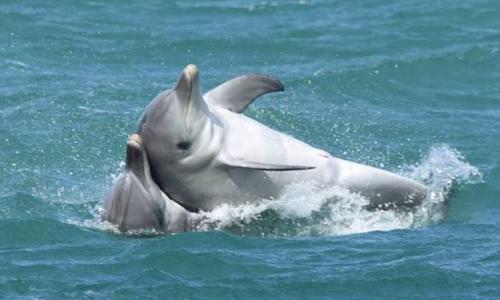 Các nhà khoa học phát hiện hành vi tình dục đồng giới ở cá heo mũi chai đực. Ảnh: Krista Nicholson.