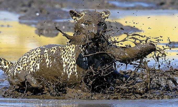 Báo đốm hụp bùn bắt cá trê