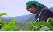 Bản làng thoát nghèo nhờ đồi chè cổ thụ trồng hữu cơ