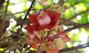 Hoa Sala nở rộ trong khuôn viên ngôi chùa 400 năm tuổi