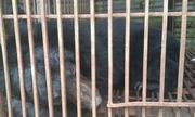 Gấu nuôi làm cảnh 12 năm được cứu hộ