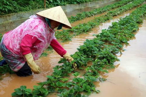 Nhiều hecta dâu tây có nguy cơ mất trắng do ngập. Ảnh: Khánh Hương