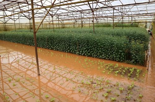 Nhiều vườn rau, hoa bị ngập nặng sau trận mưa lớn. Ảnh: Khánh Hương
