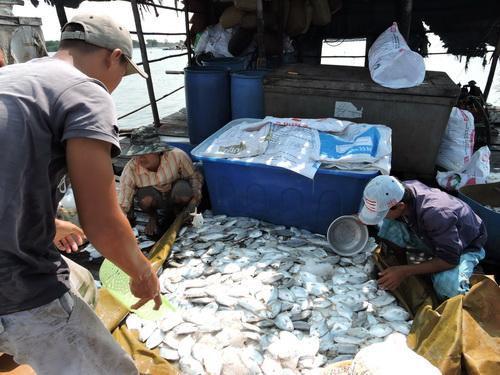 90 tấn cá bè ở Vũng Tàu chết trắng
