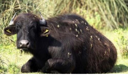Hàng chục con ếch nhảy lên lưng trâu để bắt ruồi. Ảnh: Zduniak.