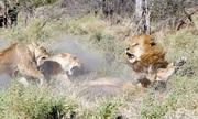 Bầy sư tử cái hợp sức đuổi đánh sư tử đực chạy trối chết