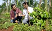 Vườn hồ tiêu xuất khẩu châu Âu trồng hoa để hút ong bướm