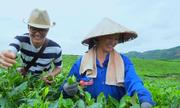 Đồi chè Tam Đường nghìn ha trồng để xuất khẩu
