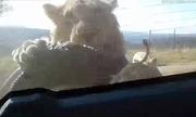 Sư tử treo mình sau ôtô dọa người