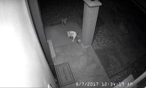 Chó hoang rượt đuổi mèo nhà lúc nửa đêm