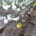 Nuôi gà rừng trong trại bồ câu thu 100 triệu đồng mỗi tháng
