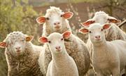 Đàn cừu 250 con được thành phố Ba Lan thuê cắt cỏ