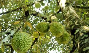 Vườn trái cây Nam Bộ của thầy giáo trên đất Quảng Nam
