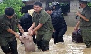 Biểu cảm vui mừng của lợn khi được cứu khỏi nước lũ ở Trung Quốc
