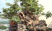 Cây ổi bonsai 300 tuổi tại Hà Nội