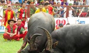 Nhiều nhà văn hóa ủng hộ giữ lễ hội chọi trâu Đồ Sơn