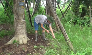 Đội 'hồi sinh' cây cổ thụ sau khi di dời ở Hà Nội