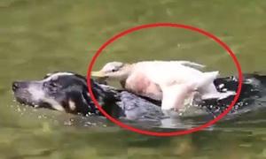 Chó hốt hoảng vì bị vịt tấn công trong hồ