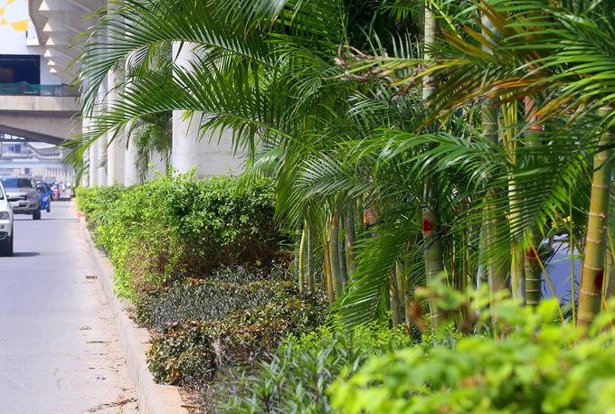 Hà Nội trồng cây cau cảnh dưới gầm đường sắt trên cao