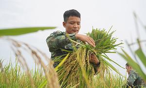 Bộ đội xuống đồng giúp dân gặt lúa chạy bão