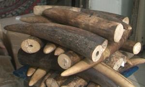 Dùng tàu cá đưa hơn 1,4 tấn ngà voi về Việt Nam