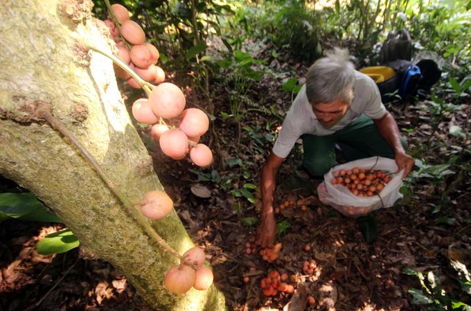Mùa thu hoạch dâu đất ở Quảng Nam