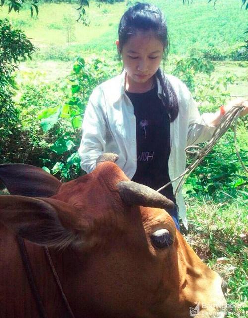 Hằng ngày, Minh chăn bò sau giờ học đỡ đần công việc nhà cho bố mẹ. Ảnh: Báo Nghệ An.