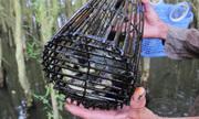 Lội rừng tràm đặt lợp bắt cá rô đồng mùa lũ ở miền Tây