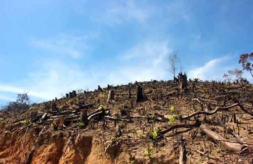 Hơn 60 hecta rừng tự nhiên ở Bình Định bị phát. Ảnh: Quy Nhơn.