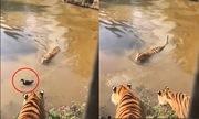 Bầy hổ ngẩn ngơ trước màn tẩu thoát ngoạn mục của vịt