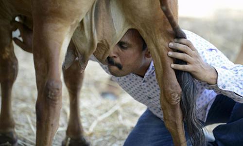 Vijay uống sữa của bò Poonam trước ngày tổ chức lễ cưới cho con vật. Ảnh: AFP.