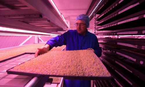 Công nhân làm việc ở nông trại ngầm dưới lòng đất ở London. Ảnh: AFP.